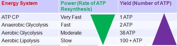 anatomy and physiology + atp resynthesis Cardiovascular physiology • anatomy of the heart atp and stored sources of energy 13 resynthesis of atp from phosphocreatine.